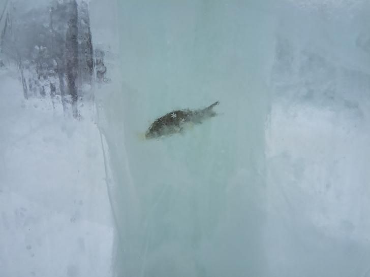 Фото №1 - В Тюмени построили парк ледяных скульптур с вмороженной рыбой