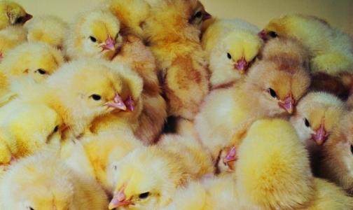 Фото №1 - Роспотребнадзор предупреждает туроператоров о птичьем гриппе