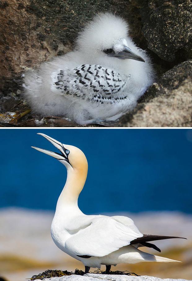 Фото №18 - 30 красивых птиц, которые были уродливыми птенцами (галерея)