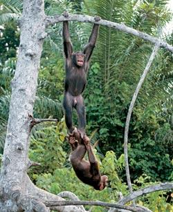 Фото №3 - Конкуати-Дули — территория шимпанзе