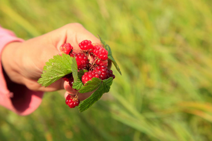 Фото №1 - Лесные и болотные самоцветы: северные ягоды во всей красе