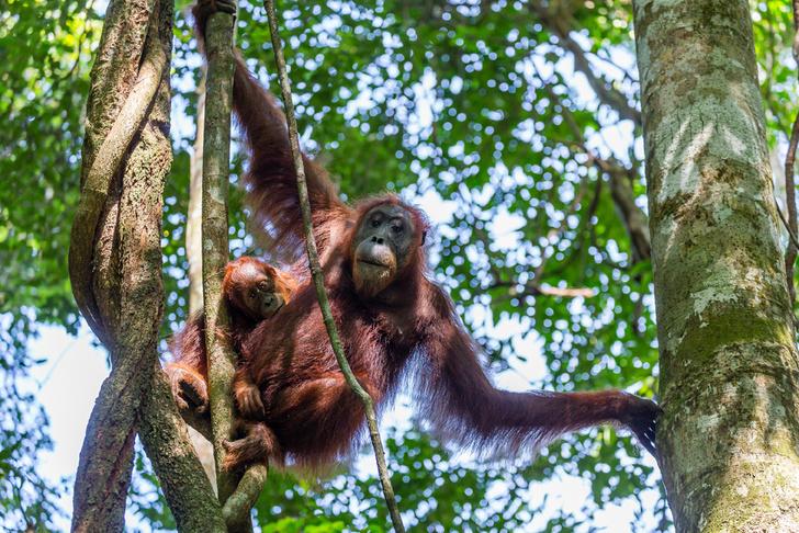 Фото №1 - Обнаружен новый вид человекообразных обезьян