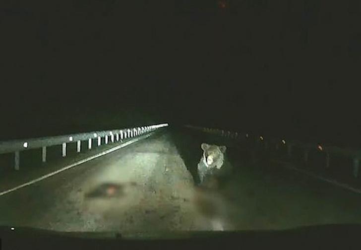 Фото №1 - Разъяренная медведица одним прыжком остановила машину, чтобы защитить шедшего по дороге медвежонка (видео)