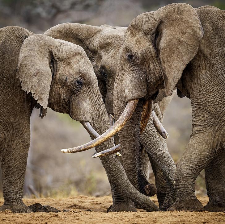 Фото №5 - Зоология: почему слоны не летают