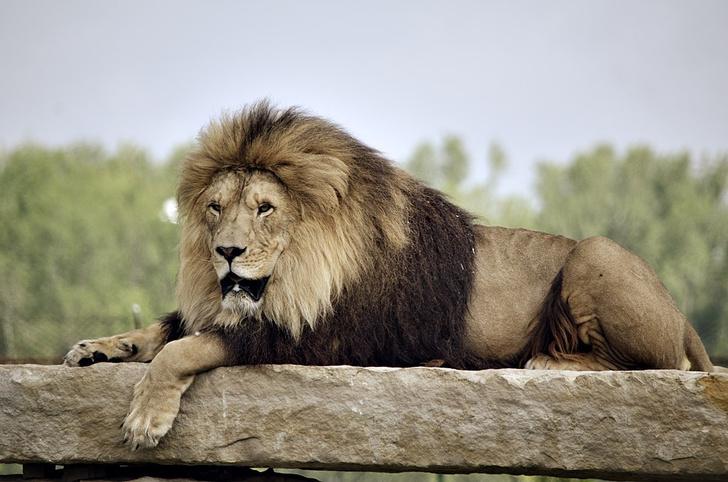 Фото №1 - 7 животных, которые могут убить льва