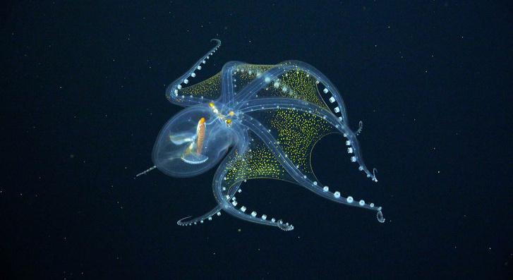 Фото №1 - В Тихом океане сфотографировали «стеклянного» осьминога