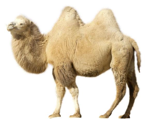 Фото №3 - Сухой закон: как верблюды выживают в экстремальных условиях