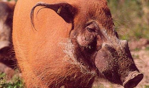 Фото №1 - Московский зоопарк закрылся из-за африканской чумы свиней