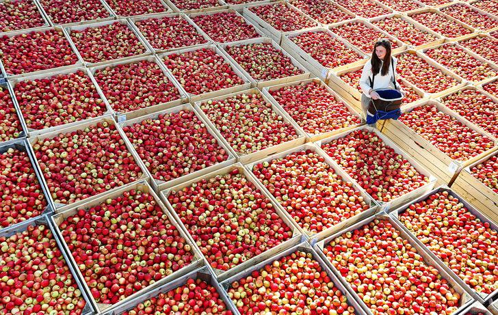 Фото №1 - Яблочный сезон