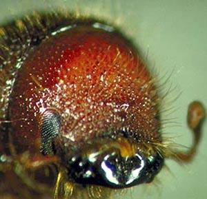 Фото №1 - Дожди не дали канадцам извести жуков
