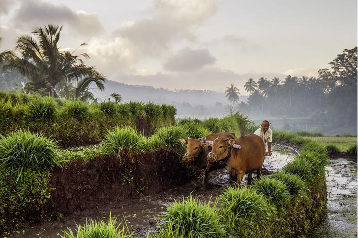 Фото №3 - Буйволы — хранители: как животные стали национальным достоянием Индонезии