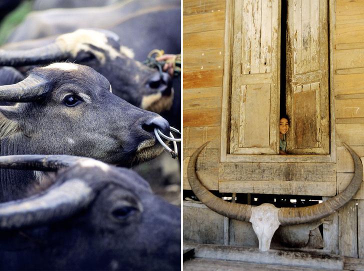Фото №5 - Буйволы — хранители: как животные стали национальным достоянием Индонезии