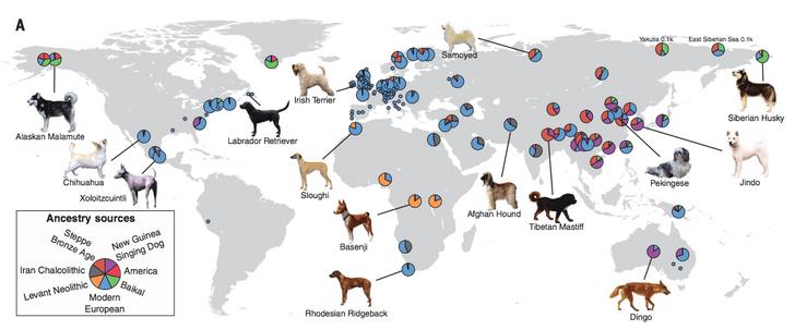 Фото №1 - Ученые рассказали, когда появились первые породы собак
