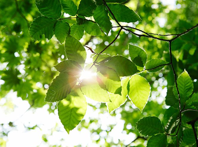 Фото №3 - Гороскоп друидов: дуб, берёза, маслина, бук