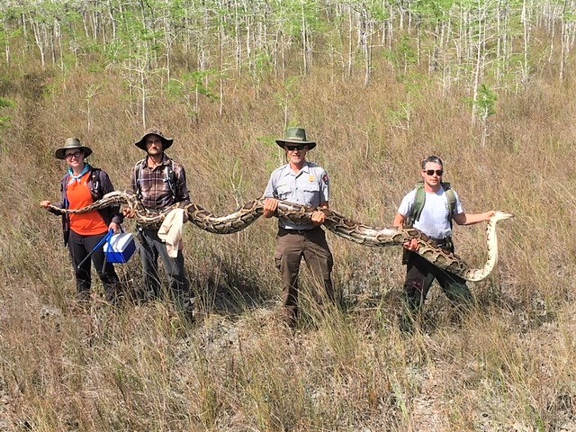 Фото №1 - Во Флориде поймали питона-рекордсмена