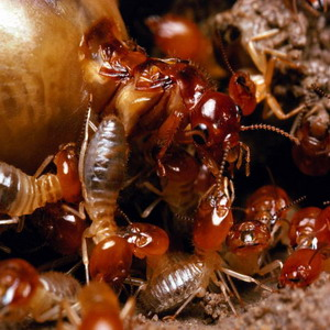 Фото №1 - Виноваты термиты