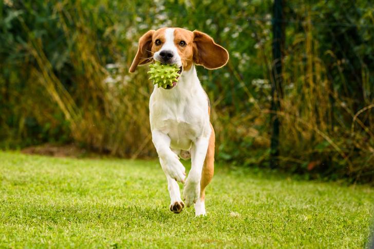 Фото №1 - Ветеринары рекомендуют ограничить прогулки с собаками в жару