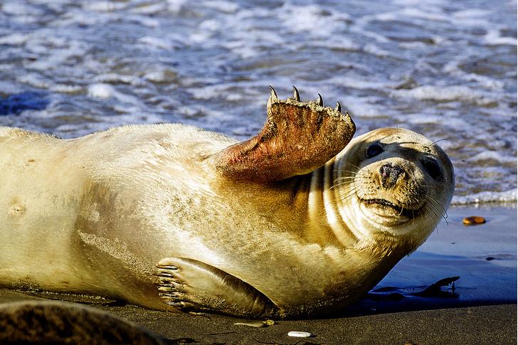 Фото №2 - Зоология: чей в море мех