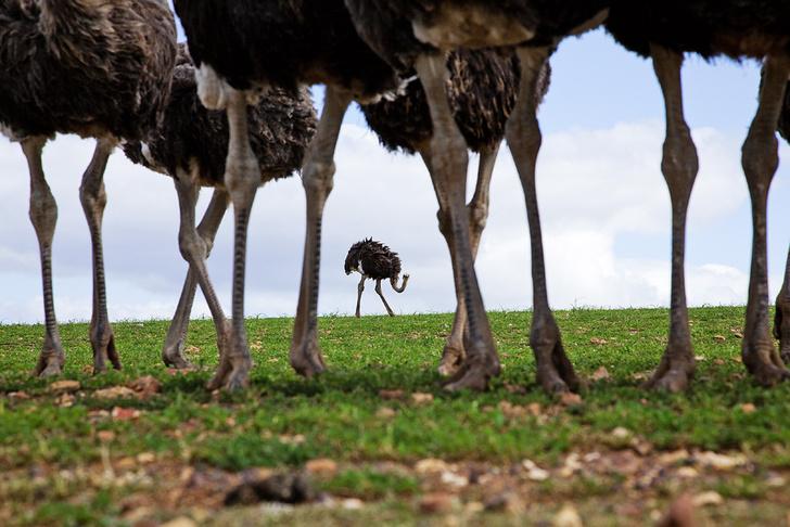 Фото №2 - Бабье царство: Как устроено страусиное общество