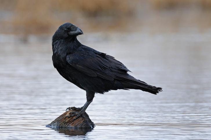 Фото №1 - Почему хищники не едят мясо ворон?