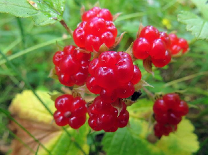 Фото №7 - В своем отечестве: самые полезные осенние ягоды