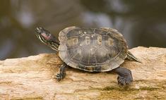 Красноухая черепаха в домашних условиях: содержание, уход ... | 142x235