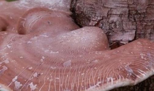 Фото №1 - Российские грибы начали использовать для лечения СПИДа и гриппа