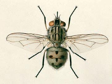 Фото №1 - Почему мухи в конце лета начинают больно жалить?