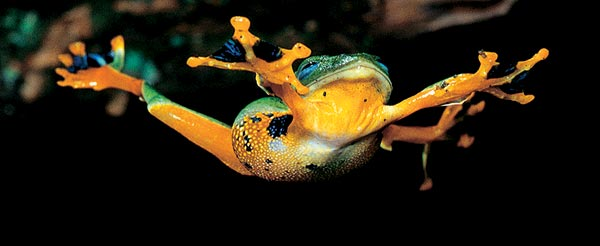 Фото №1 - Какие лягушки летают?