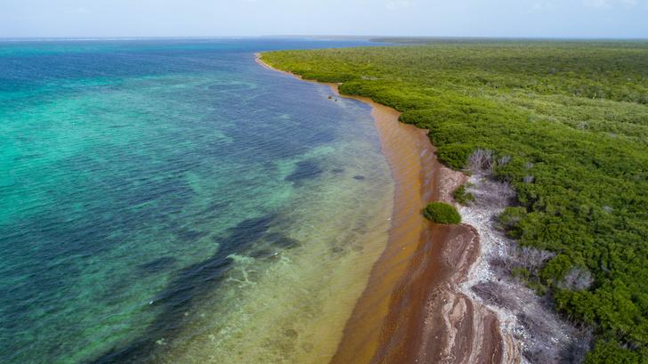 Фото №1 - «Морской виноград» захватил Карибский бассейн