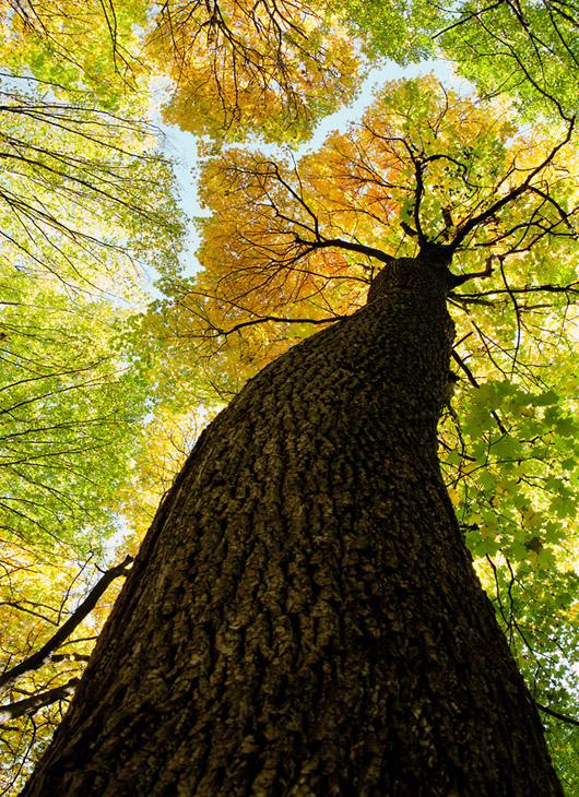 ShutterstockНа это есть несколько причин. Так, даже очень толстый ствол самого прочного дерева, подобравшись к высоте в пару сотен метров, или не выдержит собственного веса, или упадет под порывом ветра. Будь ствол не колонной, а конусом с очень широким основанием, дерево смогло бы вырасти и до 500 метров.