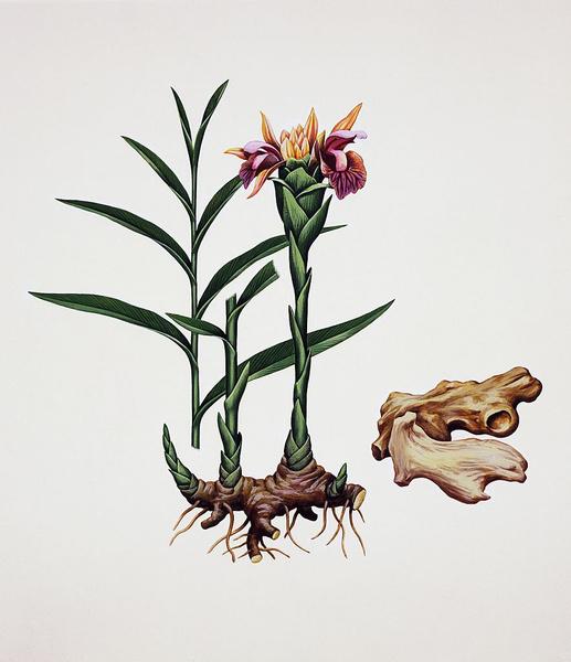 Фото №1 - Как вырастить имбирь из корня, купленного в магазине