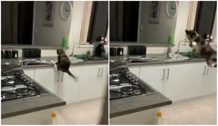 Фото №1 - Парень хотел отучить кошку прыгать на стол и застелил его фольгой. Реакция кошки попала на видео