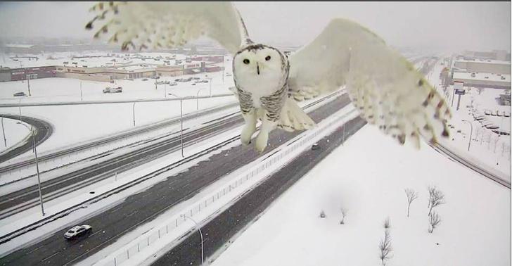 Фото №3 - Автоматическая дорожная камера в Канаде сделала редкие снимки полярной совы