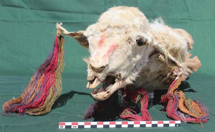 Фото №1 - Инки приносили в жертву богам живых лам