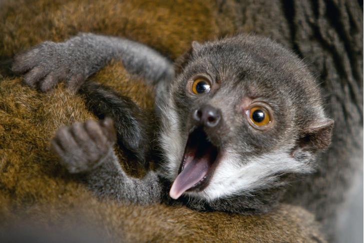 Фото №1 - Новорожденный лемур