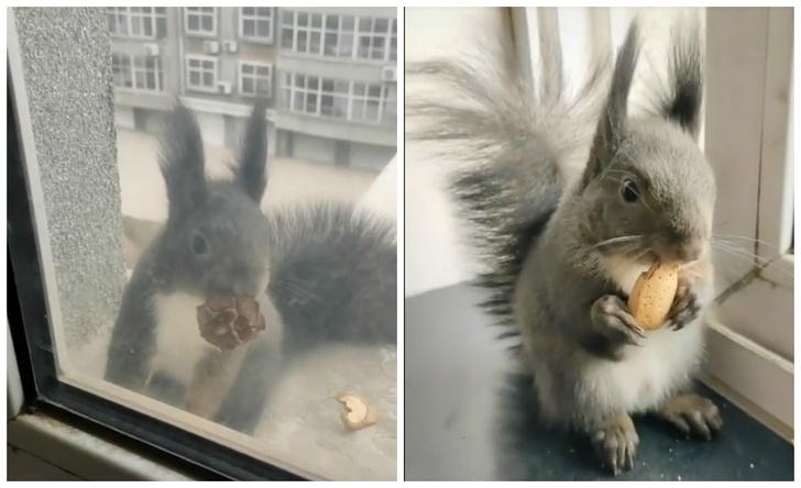 Фото №1 - Бельчонок наловчился приходить домой к человеку и менять у него шишки на орехи (видео)