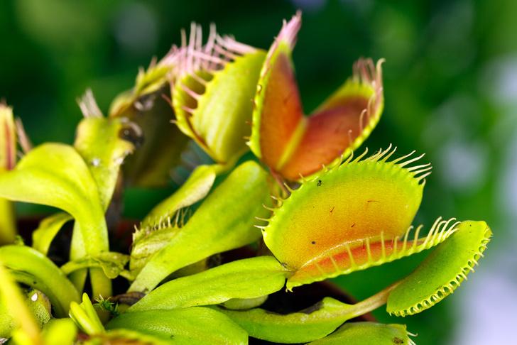 Фото №1 - У растений-хищников обнаружили способности к арифметике