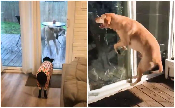 Фото №1 - Собака бурно радуется приходу свиньи в гости (видео)