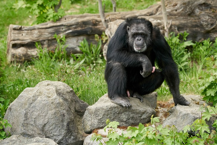 Фото №1 - Седина шимпанзе не связана со старостью