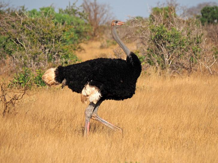 Фото №1 - Ученые выяснили, где появились страусы