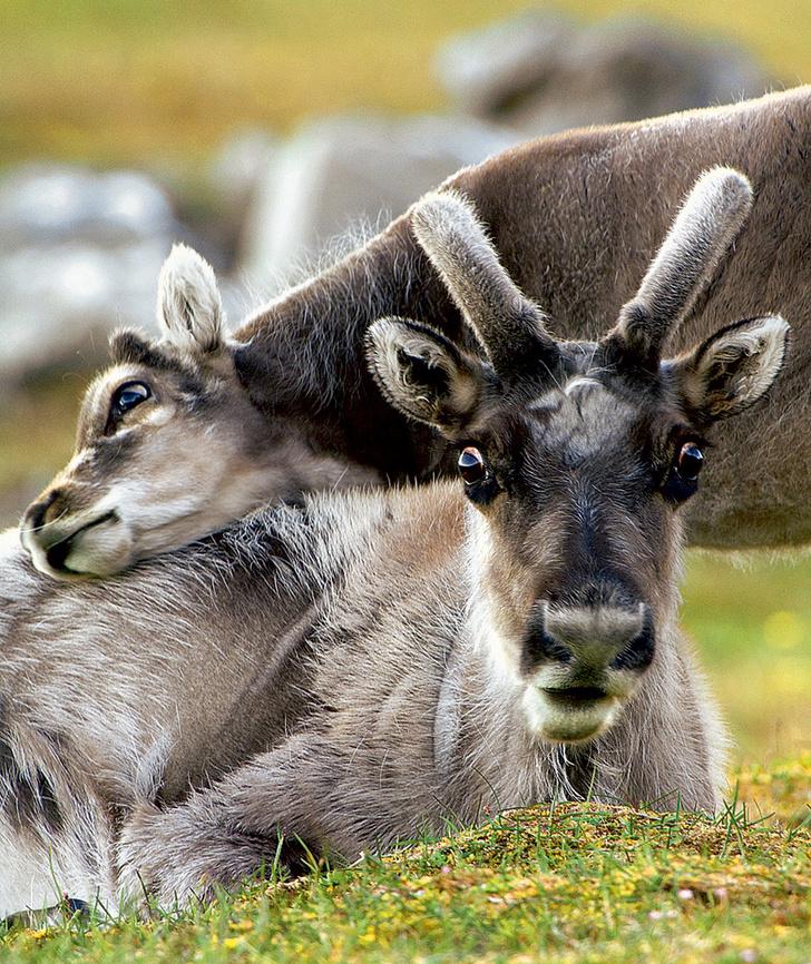 Фото №5 - Так вот ты какой, северный олень!