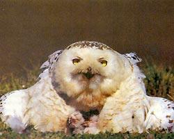 Фото №4 - Фанаты белой совы