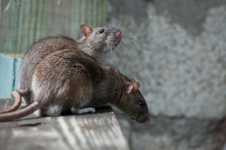 Фото №1 - Крысы помогают товарищам в ущерб своим интересам
