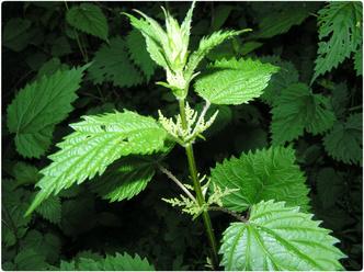 Фото №2 - Природный шприц: листья крапивы под микроскопом