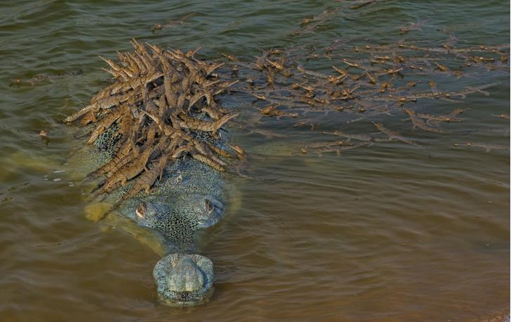 Фото №1 - Сто маленьких крокодилов