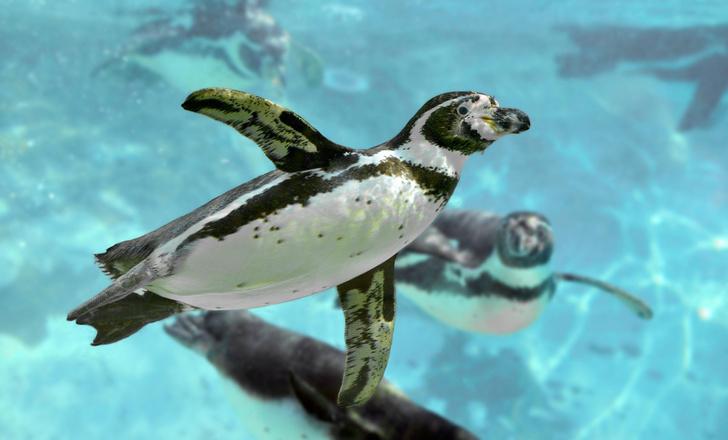 Фото №4 - Обойдемся без кислорода! Непревзойденные ныряльщики из мира дикой природы