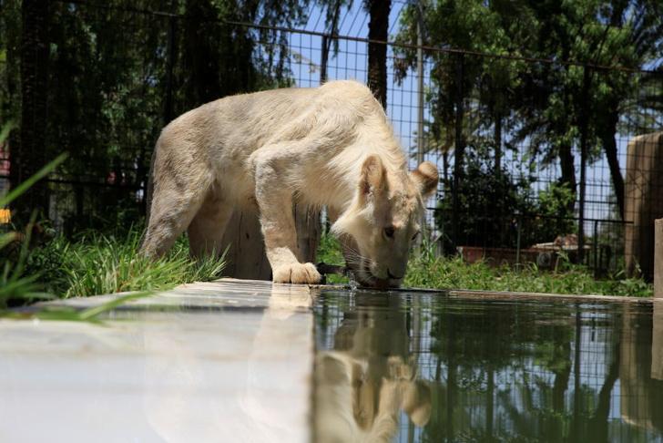 Фото №1 - Белый лев