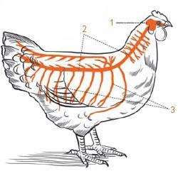 Фото №1 - Почему курица бегает, когда ей отрубили голову?