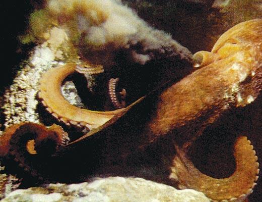Фото №1 - В обители осьминога